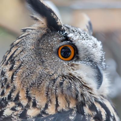 Филин птица филин глаза
