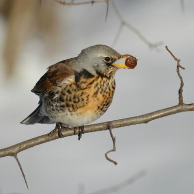 Закатное птица дрозд