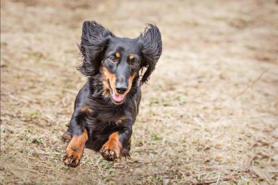 Паночка. Полный отрыв... Собака Такса Животные Движение Бег