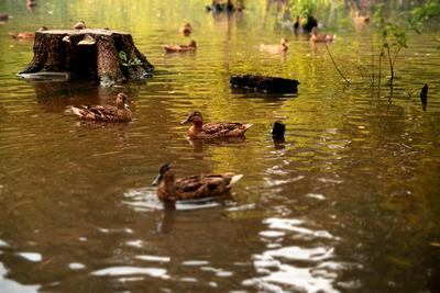 Ути-ути утки пруд озеро вода городской