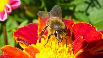 Пчелка Майя Насекомые Макро Природа Пчела