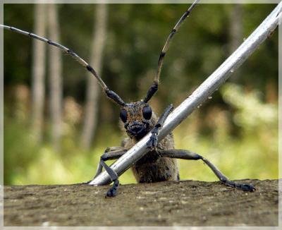 Дровосек дача жук дровосек забор