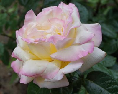 Роза Природа цветы розы