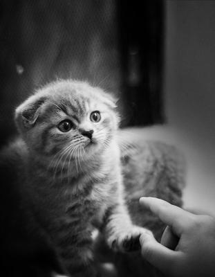 *** котенок, британская вислоухая