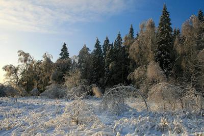 Январский лес березы, ели, зима, лес, небо, пейзаж, подмосковье, природа, снег, январь