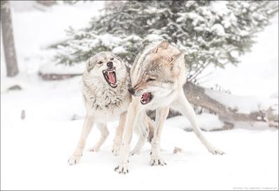 семейная сценка волки