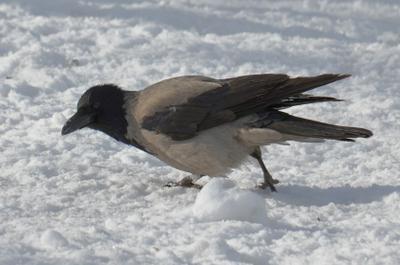 По тихому, буквально ползком... птица ворона