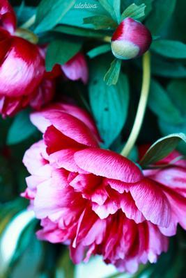 *** ulchiva summer pion flower natore macro