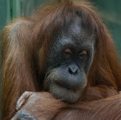 Печальный образ обезьяна зоопарк печаль
