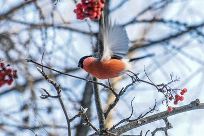 Снегирь Снегири природа зима