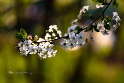 Цветущая ветка весна цветение ветка вишни