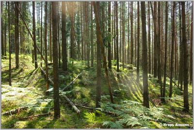 Хатынский лес. Сквозь стволы сосен солнцу навстречу