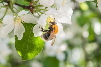 Май шмель цветок яблоня