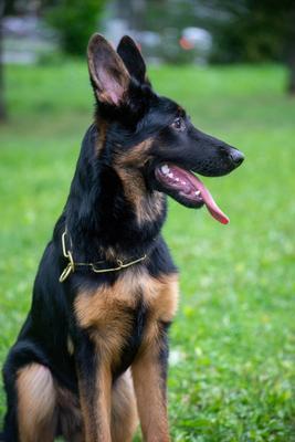 *** собака питомец немецкая овчарка дрессировка