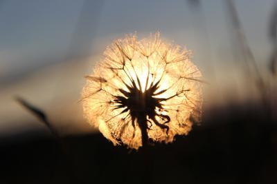Одуванчик-солнце