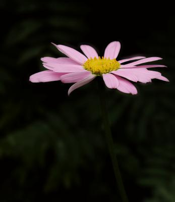 Цветок цветок розовый лето природа