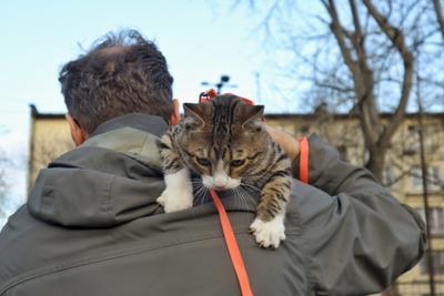 несёт меня лиса в далёкие леса кот кошки кошка шлейка прогулка