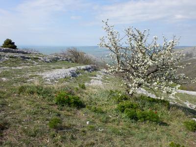 Дерево с белыми цветами