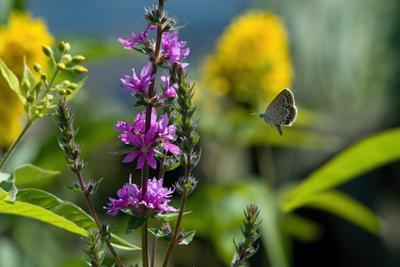 Парящая голубянка бабочки насекомые макро голубянка летящая бабочка в полёте