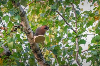 Сойка на берёзовом трутовике.#сфдп,#большойгодроссии птица дикая природа животное ветвь дикий красный черный дерево зеленый птичий красочный лес крыло красивый цвет перо коричневый