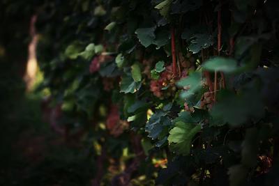 виноград в хор вирап хор вирап, natella, виноград, xor virap