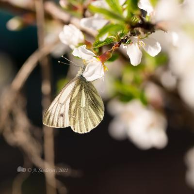 Бабочка брюквенница на цветке бабочка насекомое макро белянка