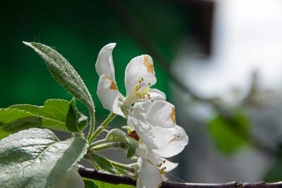 Яблоня яблоня весна