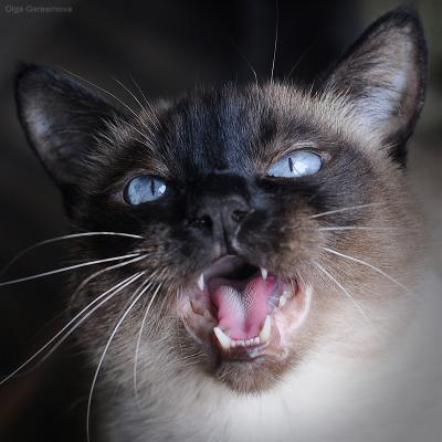 Сиаааааааамская кошка,сиамская,мяу