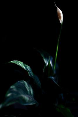 Цветок цветок зелень растение листья мрак тьма солнечный свет белый