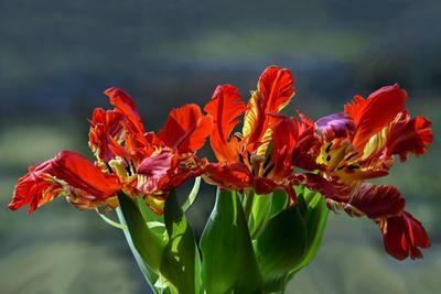 Последний танец Тюльпаны