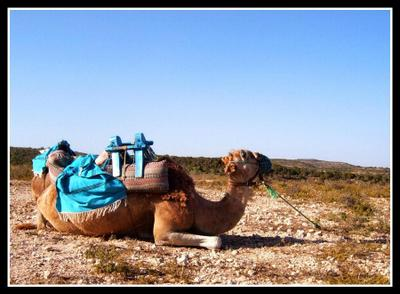 Камиль верблюд