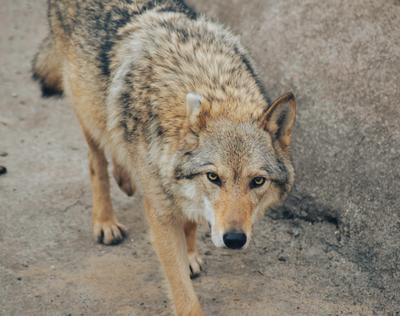 Волчица Волк животные волчица