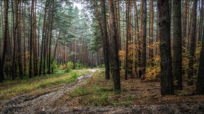 Осень в сосновом лесу. осень пейзаж лес