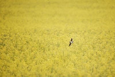 Весна природа весна ласточка птицы минимализм