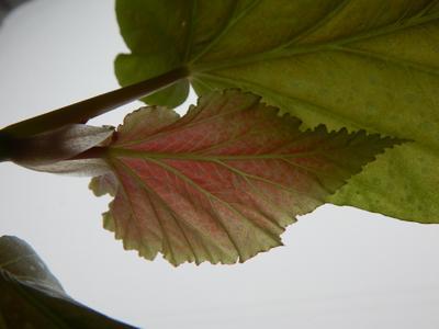 Красный лист в крапинку бамбук растение красный лист домашний цветок домашнее