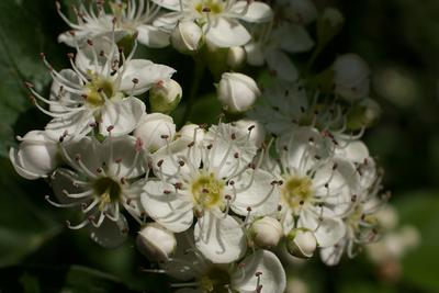 Цветок боярышника