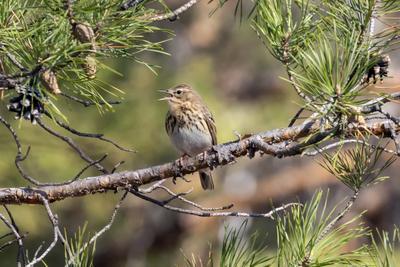 Конёк лесной Конёк лесной птицы птица пернатые