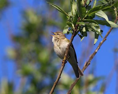 Весничка поёт Пеночка-весничка Phylloscopus trochilus Willow Warbler
