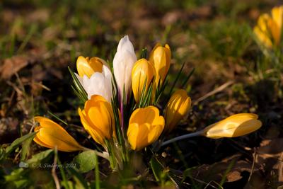 Крокусы цветы весна крокусы