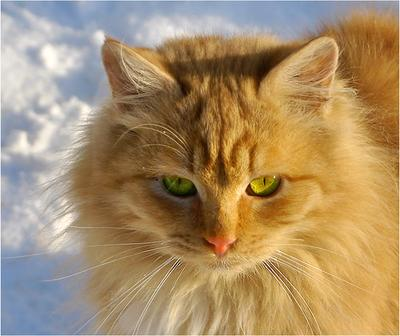 Рыжик январь снег Рыжик кот-красавец