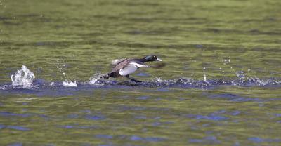 бегущий по волнам птицы водоплавающие хохлатая чернеть