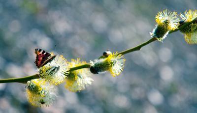 и у нас весна! бабочка, весна, верба