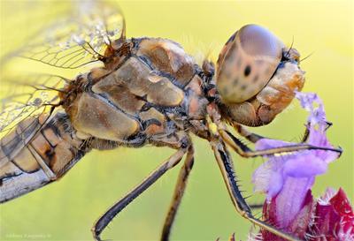 Стрекозий портрет стрекоза утро симпетрум обыкновенный