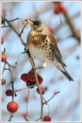 Дрозд дозорный дрозд,сад,птицы,птицы москвы