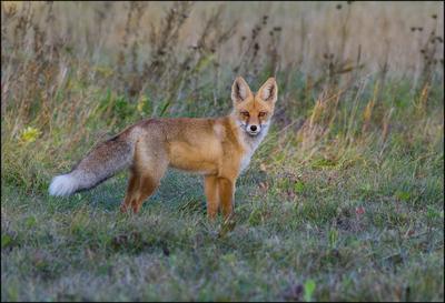 Серьёзный лис лиса взгляд поле сентябрь