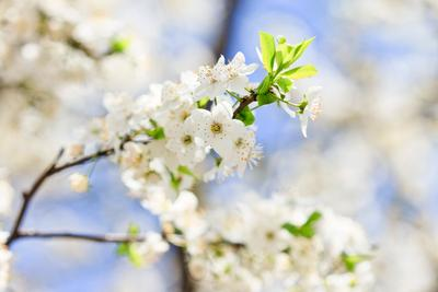 springtime весна цветы вишня пчела макро небо белый синий голубой мед запах солнце счастье sun light macro sky blue white nature flower cherry bee honey spring