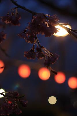 и фонари сакура, вечер, фонари