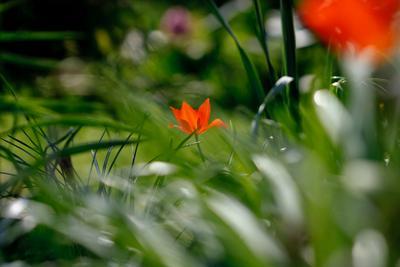 Lonely tulip весна цветы тюльпан красный макро запах солнце счастье sun light macro nature flower tulip red spring