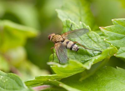 Волосатый мух Мухи тахины или ежемухи Tachinidae Raynox