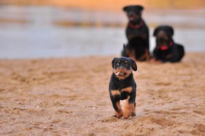 *** собака щенок ротвейлер шпана